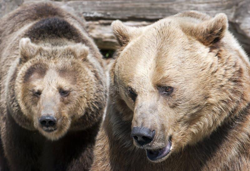 Två bruna björnar (Ursusarctosarctos) fotografering för bildbyråer