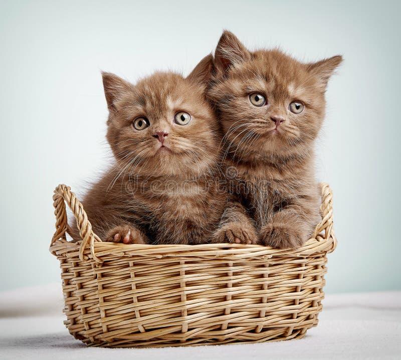 Två bruna brittiska shorthairkattungar arkivbild
