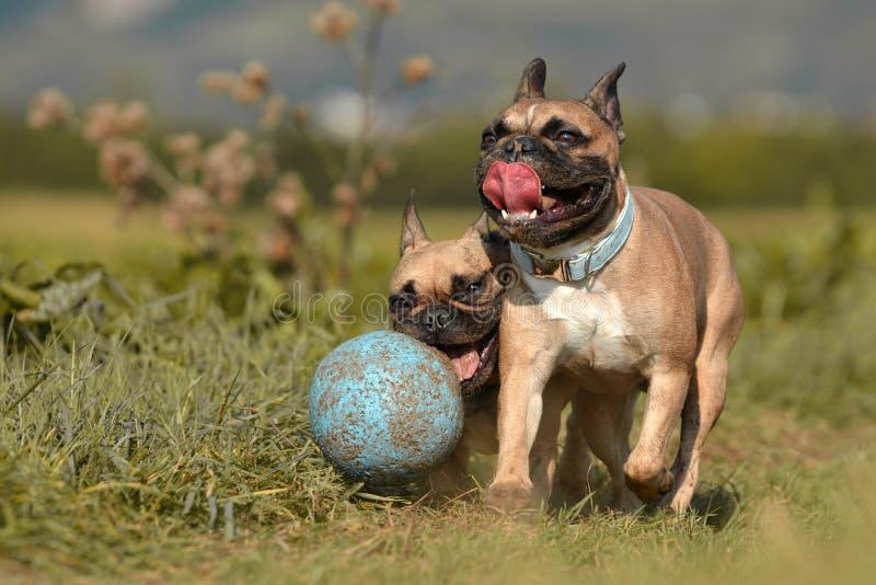 Två bruna franska bulldoggar som har gyckel och spelar med en stor lerig blå bollhundleksak som omges av gröna fält arkivfoto