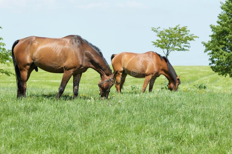 Två bruna hästar arkivbild