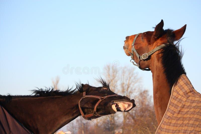Två bruna hästar som tillsammans spelar arkivfoton