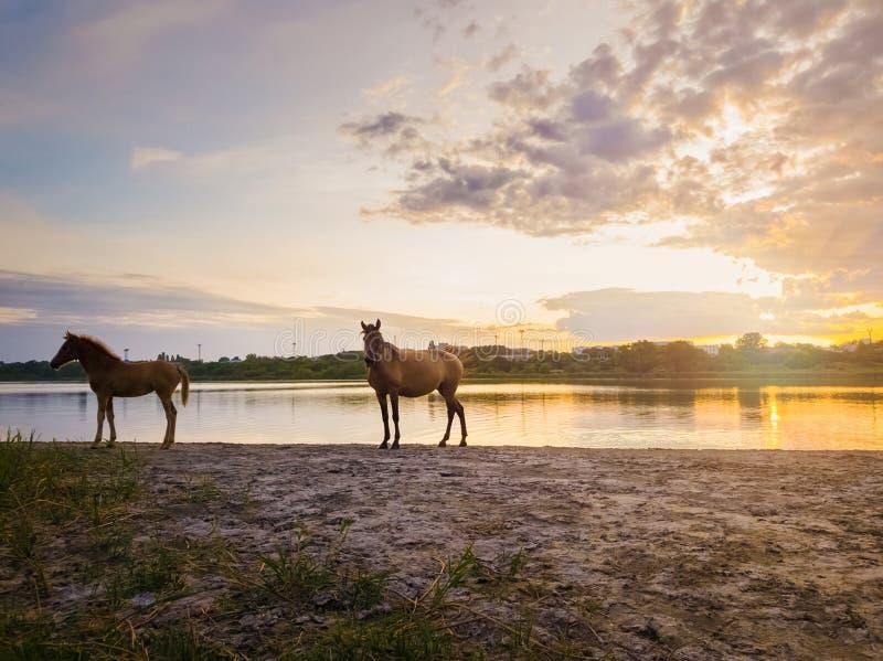 Två bruna hästar, ungt föl och hans modersto och att stå nära dammet som bevattnar över solnedgångbakgrund med reflexion på sjön royaltyfri foto