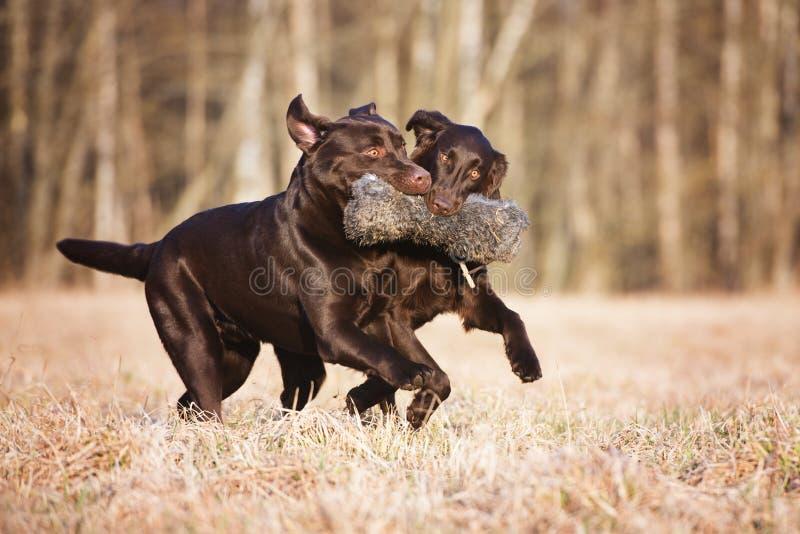 Två bruna hundkapplöpning som utomhus kör royaltyfria bilder