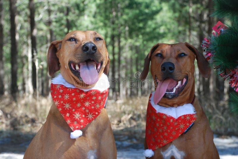 Två bruna julhundkapplöpning fotografering för bildbyråer