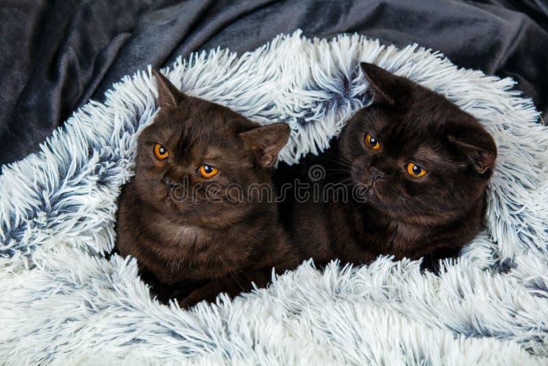 Två bruna kattungar royaltyfria bilder