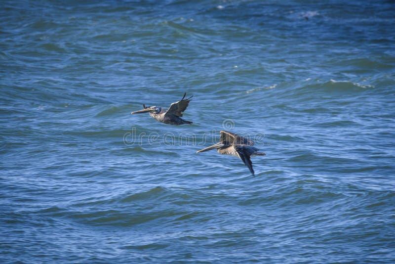 Två bruna pelikan royaltyfri fotografi