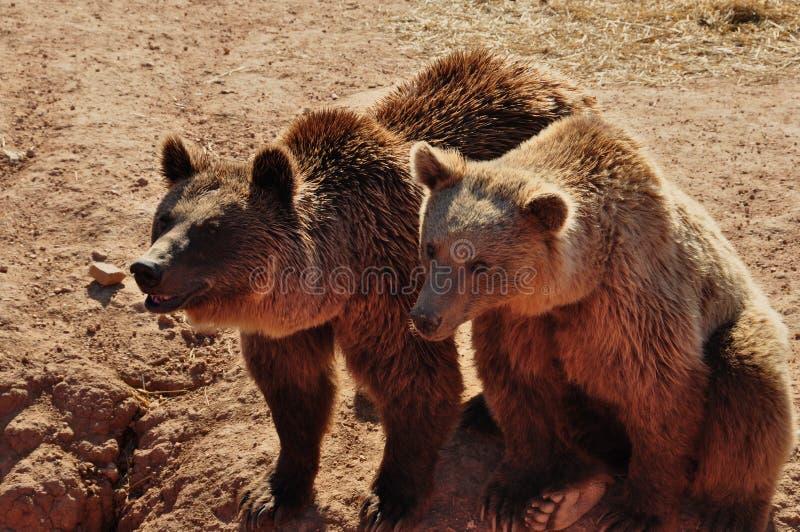 Två brunbjörnar arkivfoton
