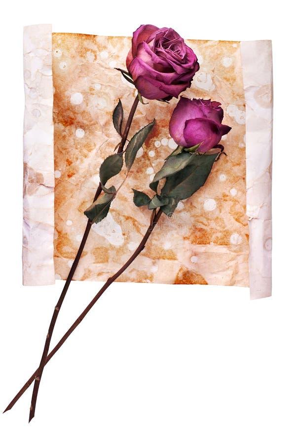 Två burgundy steg blommor på målat skrynkligt åldrigt pappers- bakgrundsslut upp på vitt, ferieinbjudan, hälsningkort royaltyfri bild