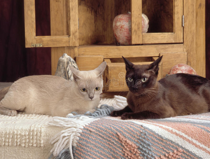 Två burmese katter fotografering för bildbyråer