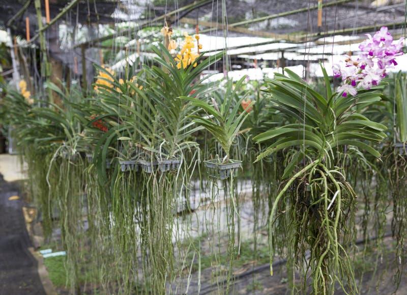 Två buskevariationer av orkidér DENDROBIUM och Cycnoches som hänger i växthuset Härliga blommor, rotar länge av växten Thail royaltyfri fotografi