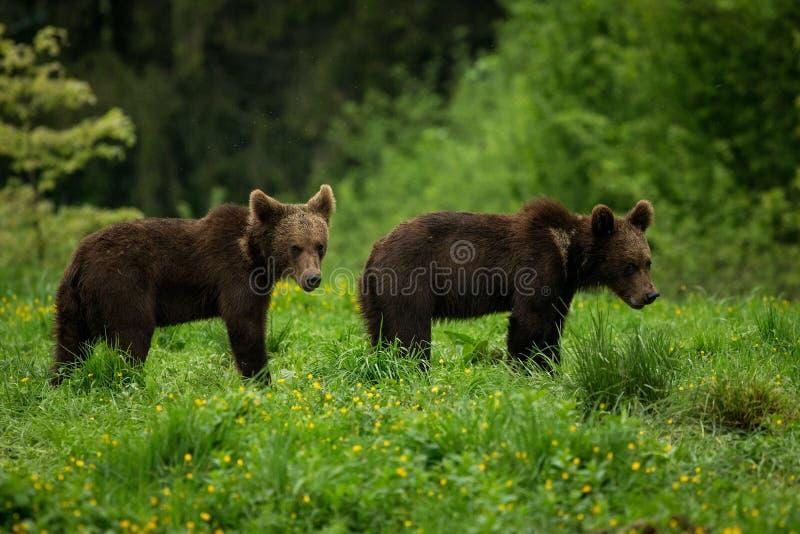 Två BVrown björnar i ängen fotografering för bildbyråer