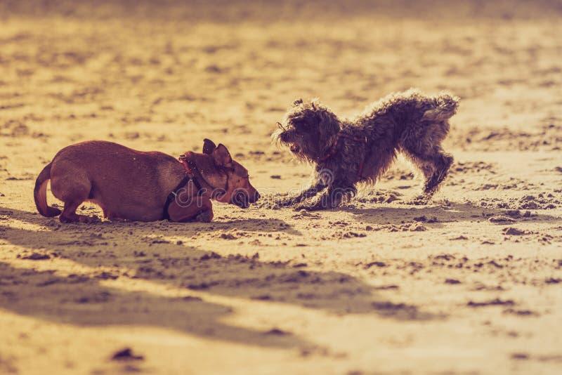 Två byrackahundkapplöpning som tillsammans spelar på stranden arkivfoton