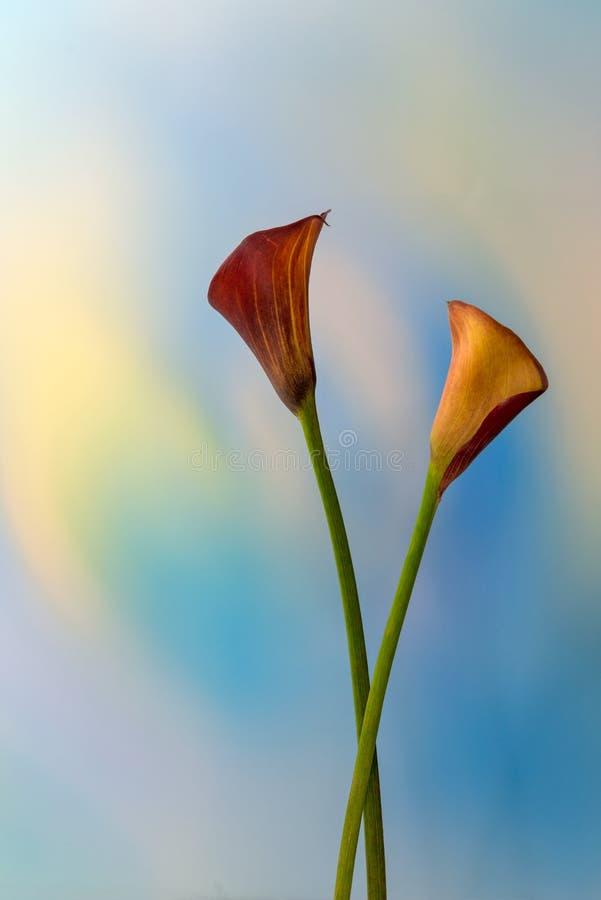 Två Calla Lilies royaltyfria foton