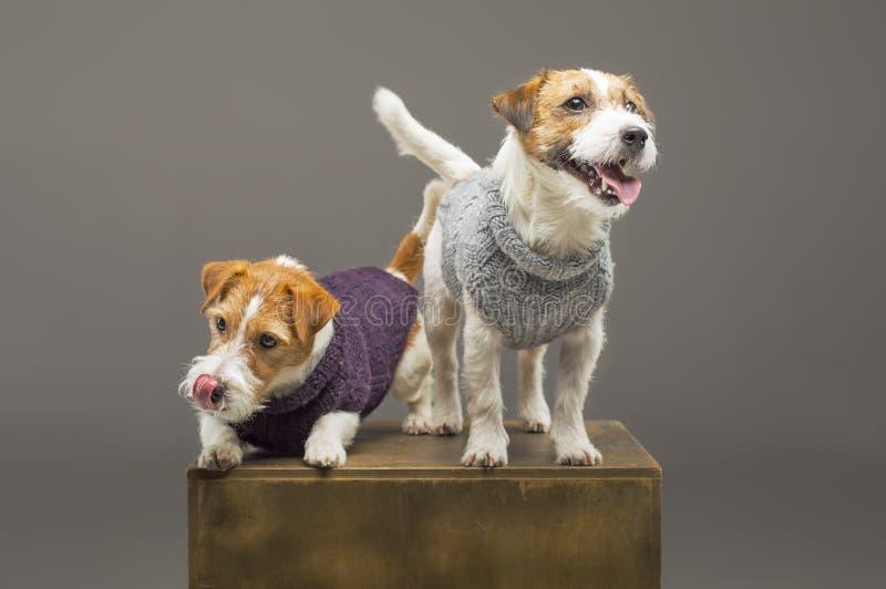 Två charma Jack Russell som poserar i studion i varma tröjor royaltyfri foto