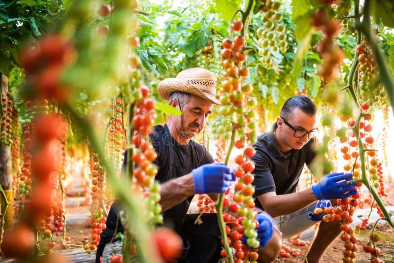 Två cheking för jordbruksarbetare för män åkerbruka och mot efterkrav skörd av den körsbärsröda tomaten i växthus arkivfoton
