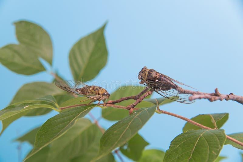 Två cikador på en lövrik filial arkivbild