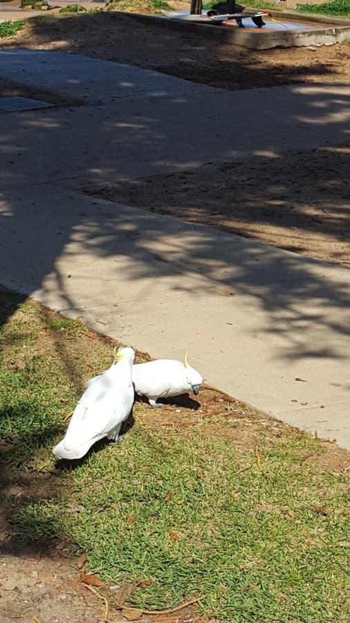 Två cockatoo-sökningar efter mat på Avalon Beach, NSW, Australien arkivfoto