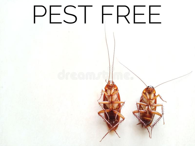 Två döda kackerlackor som fritt isoleras på vit bakgrund med en citationsteckenplåga fotografering för bildbyråer
