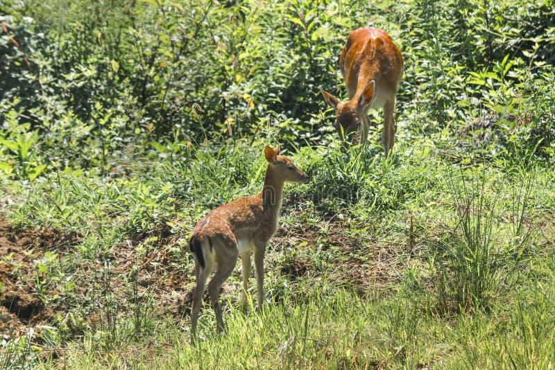 Två deers i ett italienskt naturligt parkerar arkivbilder