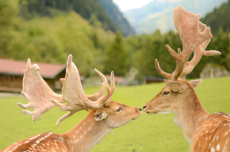 Två deers som kysser i bergen royaltyfri bild