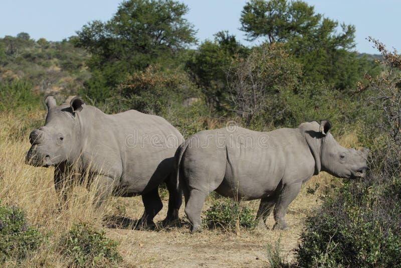 Två Dehorned vita eller Fyrkant-lipped noshörning arkivbild