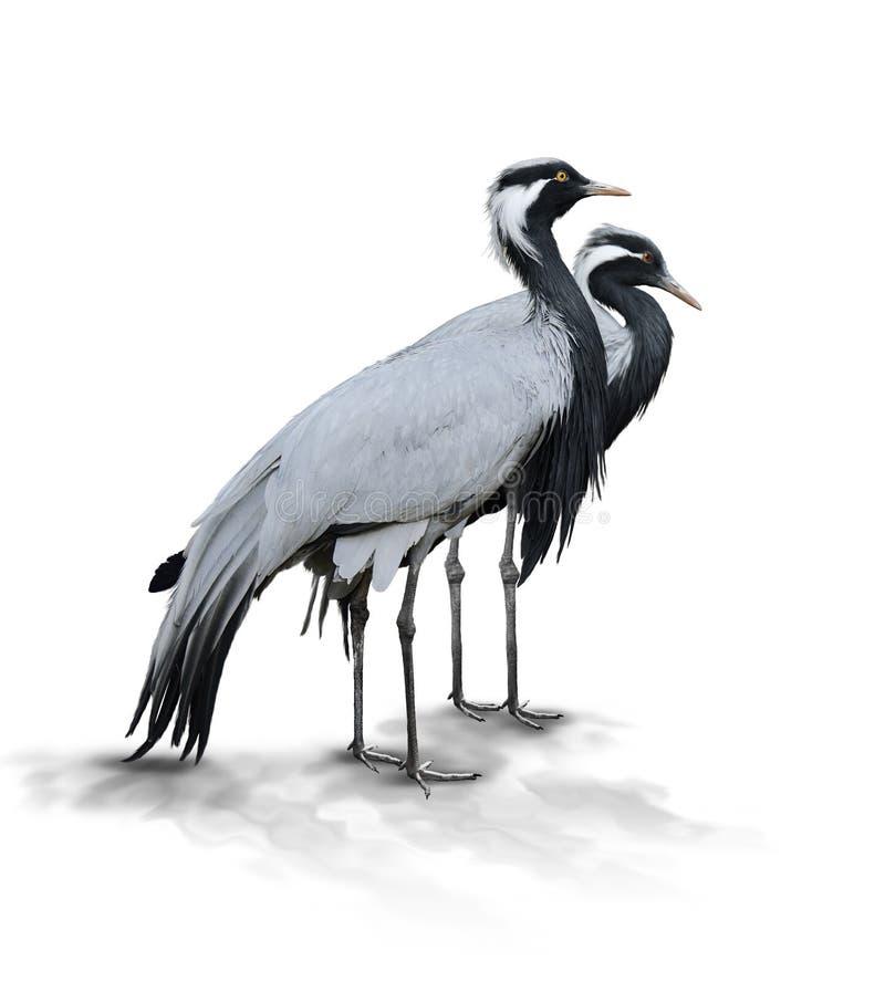 Två Demoiselle Crane Birds fotografering för bildbyråer