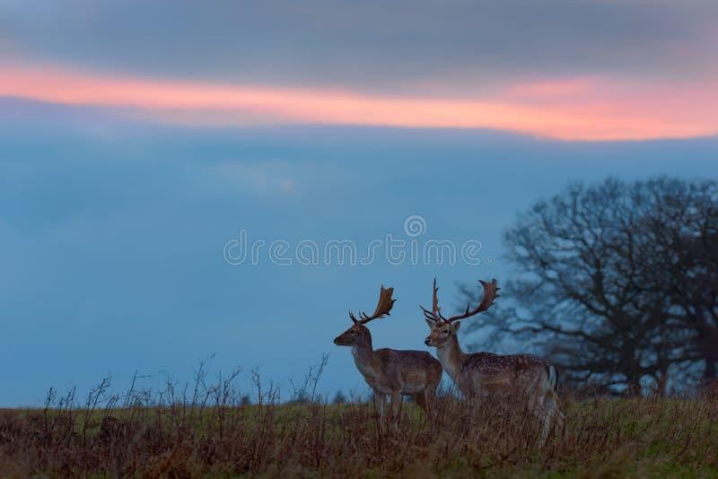 Två dovhjortbockar på solnedgången arkivfoto