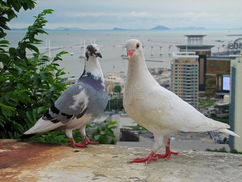 Två duvor i Macao arkivfoto