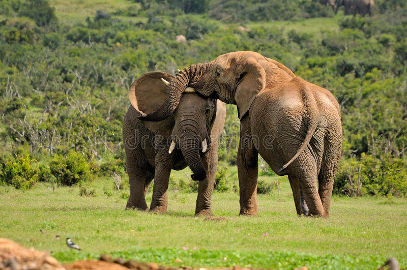 Två elefanter som slåss, Addo elefantnationalpark, södra Afric royaltyfria foton