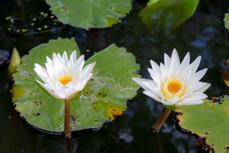 Två eller dubbel blomma för vit lotusblomma i sjön eller dammet arkivbild