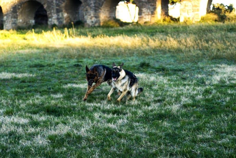 Två elsassiska hundkapplöpning royaltyfria foton