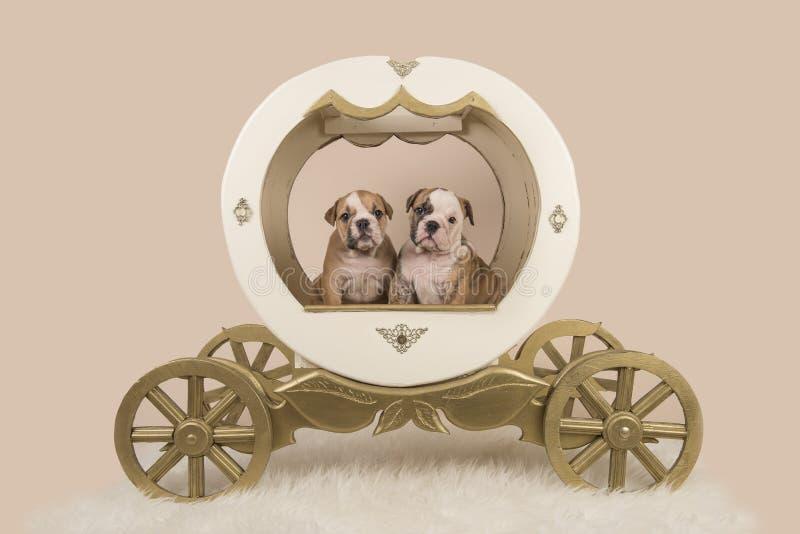 Två engelska bulldoggvalpar i en vagn på en sand färgade bakgrund royaltyfria bilder