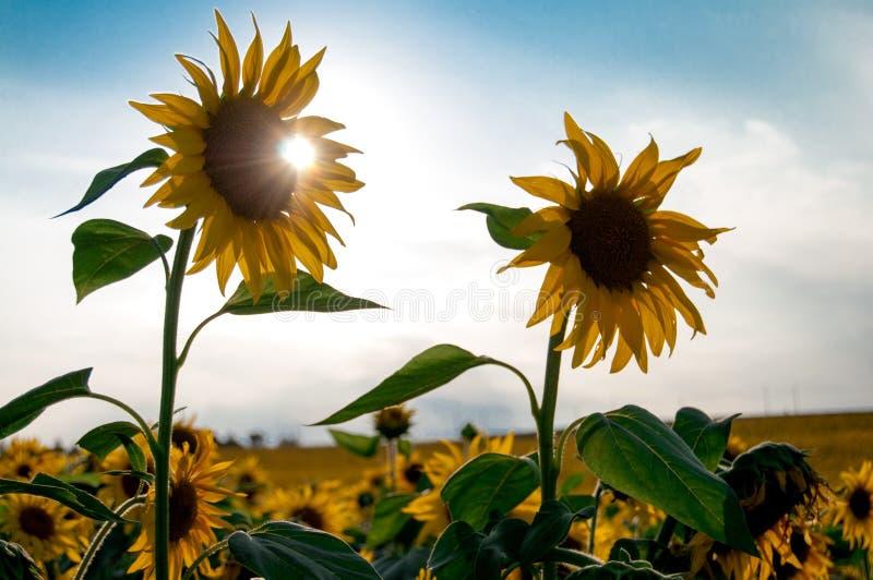 två enorma solrosor med solen bak dem royaltyfria foton