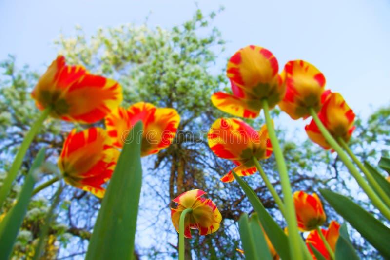 Två-färgade tulpan fotografering för bildbyråer