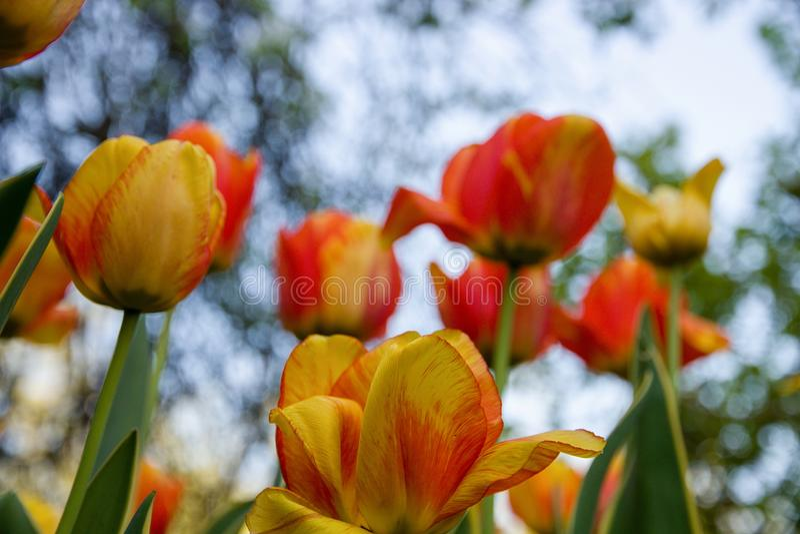 Två-färgade tulpan royaltyfria foton