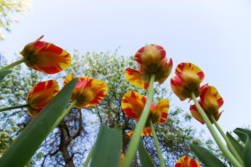 Två-färgade tulpan arkivfoton