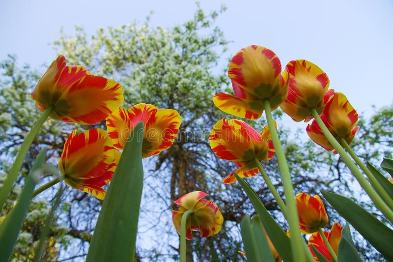 Två-färgade tulpan royaltyfri foto