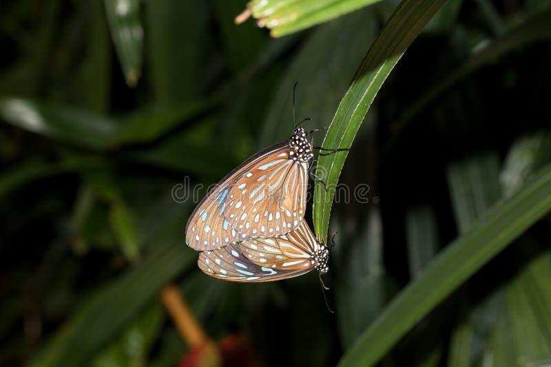 Två färgrika fjärilar blir en arkivbilder