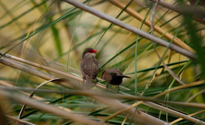 Två fåglar av röd näbb royaltyfria foton