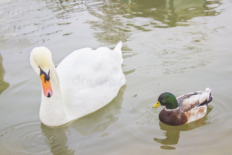 Två fåglar, en vit svan och en and simmar i dammet, i zoo royaltyfri fotografi