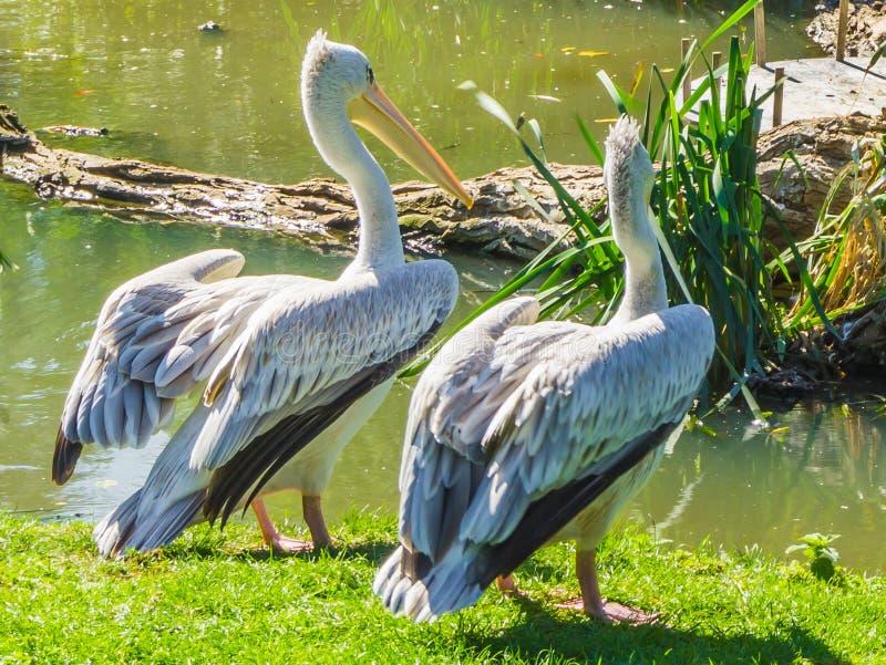 Två fåglar för vit pelikan som står tillsammans på flodstranden som stirrar på vattnet royaltyfri fotografi