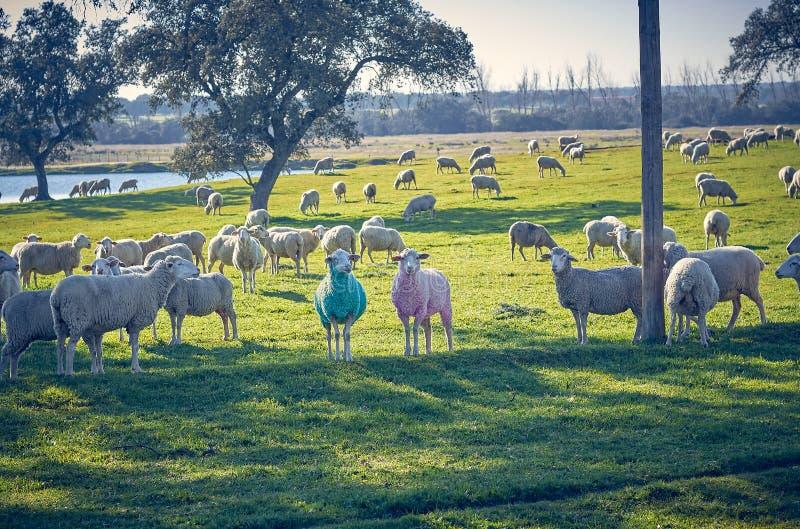 Två får i blåa och rosa färger bredvid en flock som betar i det gröna fältet med holmekar och en sjö, på en solig dag royaltyfria foton