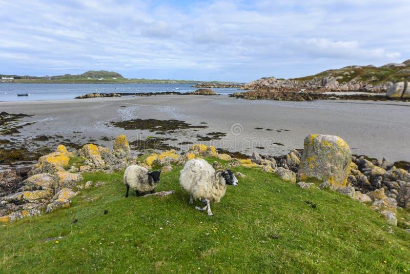 Två får som kommer från stranden, ö av Mull, Skottland, Förenade kungariket arkivfoto