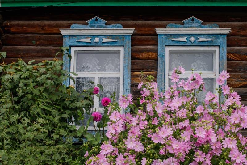 Två fönster med blå klippning Malvabuske med delikata rosa blommor framme av huset royaltyfri foto