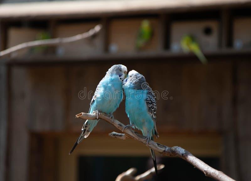 Två förälskade blåa papegojor sitter på en filial och en kyss royaltyfria foton