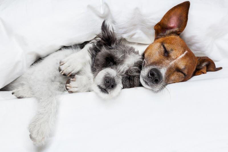Två förälskade hundkapplöpning arkivfoto
