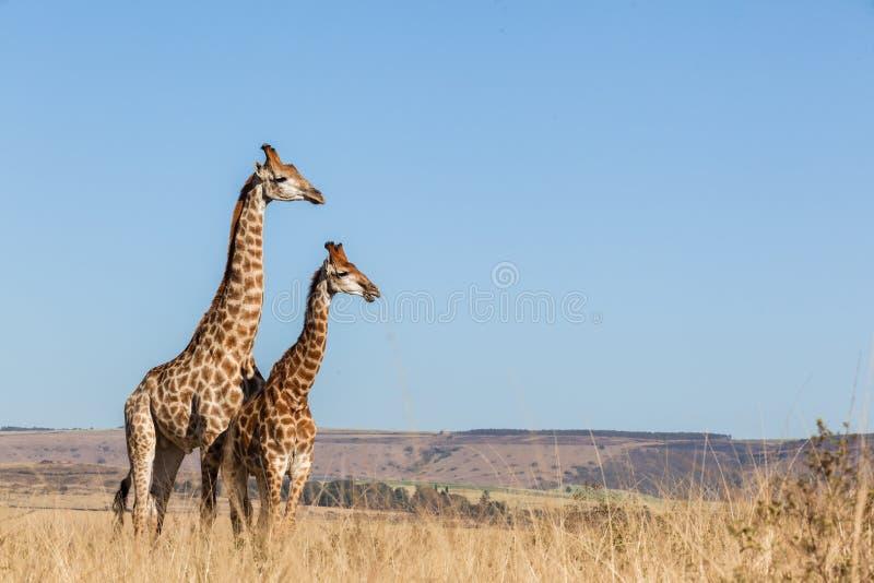Två för giraff djurlivdjur tillsammans arkivfoto