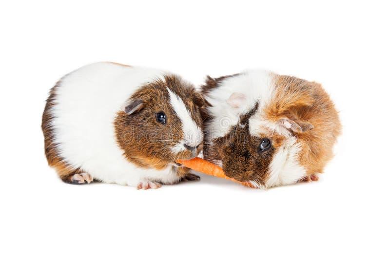 Två försökskaniner som delar moroten royaltyfria foton