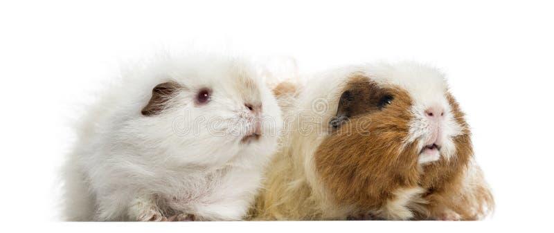 Två försökskaniner som tillsammans står, isolerat på vit arkivfoton