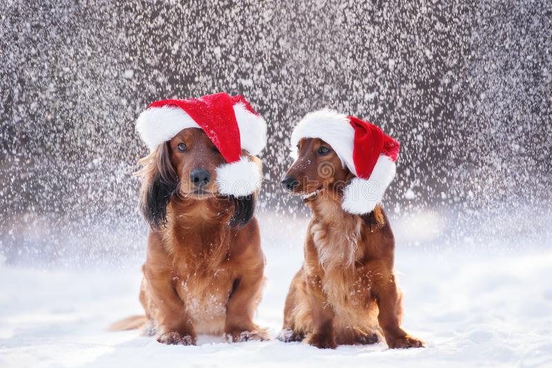 Två förtjusande hundkapplöpning i santa hattar som poserar i fallande snö royaltyfri fotografi